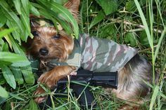 264 Best Yorkie Mania Images On Pinterest Cute Puppies Cute Baby