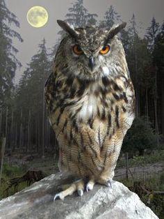 <3 Great Horned Owl <3