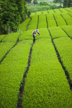 Tea gardens in Assam.