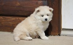 Download wallpapers cute white puppy, Pomsky Puppies, furry little dog, cute animals
