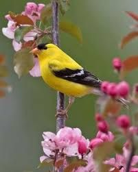 Image result for flying american goldfinches