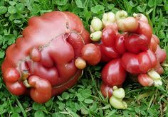 Wonky Veg: Nature's odd mistakes compete in Garden Organic's funny-looking vegetable contest