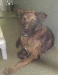 Gunner is an adoptable Catahoula Leopard Dog Dog in Laurinburg, NC. The adoption fee for our dogs is only $90, which includes spaying/neutering, introductory immunizations and a microchip. Application...