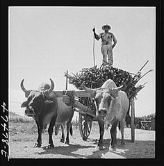 images of puerto rico   1942 Guanica, Puerto Rico (vicinity). Load of sugar cane on its way to ...
