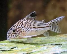 cory - I love all corydoras, peaceful, bumbling, sociable. Perfect community fish.