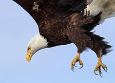 Wild Bald Eagle Attack - Wild Bald Eagle - Attacking a Mew Gull May 19th…