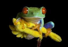 About 88% of amphibian species are frogs. COOL FROG PIC!