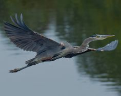 Great Blue Heron in flight — at Cochecho River - Dover NH