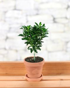 Mini Euonymus Tree