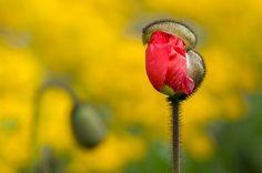 Bud of poppy by Michel  ZAREBSKI on 500px