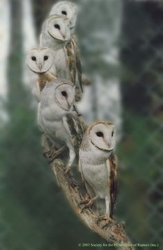 barn owls, beautiful faces, owls on a line, owls in a row, peace and serenity