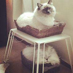 Double deck#cats #kitten #lovecats #ragdoll #chinchilla #Persian #kitten #meow #lovecat
