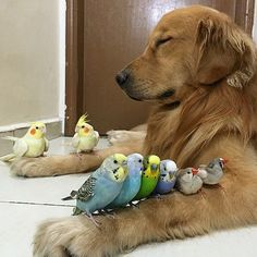 A lovable dog named Bob lives harmoniously with 8 birds and a hamster. #cute #friends