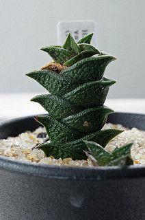 Haworthia nigra var. diversifolia