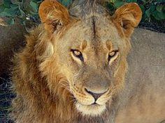 Leijona, Luonnonvaraisten, Villieläimet
