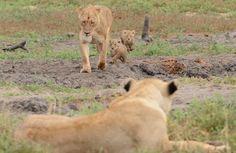 www.sunsafaris.com #welcome #new #lion #cubs #ross #pride #safari #kruger #national #park #mother #love #nature #wildlife #south #africa #klaserie #reserve