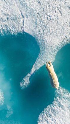 Polar bear. Arctic Bay, Nunavut, Canada