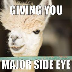 16fd0964b4528ad9799fda70be61a0e5 alpaca meme alpaca memes google search alpacas pinterest alpacas,Alpaca Meme Generator