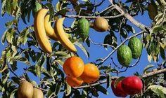 ABD'li profesör Sam Van Aken, aşılama işlemi sayesinde bir ağaçta 40 farklı meyve yetiştirebiliyor. Ağaçta şeftali, erik, kayısı, nektari, kiraz ve badem gibi mevsimine göre farklı fa...