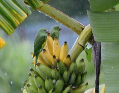 Red Banana Tree, Banana Flower, Maggam Work Designs, Exotic Plants, What A Wonderful World, Colorful Birds, Fruit Trees, Bird Art, Beautiful Birds