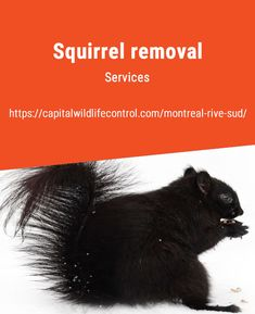 Capital Wildlife Control are professionals in animal pest management, including Squirrel removal in Beloeil, Boucherville, Brossard, and Longueuil. Stronger Teeth, La Rive, Pest Management, Of Montreal, Red Squirrel, Rodents, Fleas, Wildlife, How To Remove