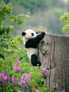 Kleiner Panda beim Klettern