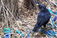 Verhaltensforschung irrer laubenvogel begnadeter for Innendekorateur info