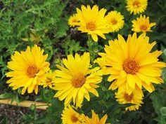 Heliopsis Helianthoides 'Summer Sun'. Mi-ombre, Ombre légère, Soleil. Juil.-Oct. Jaune. 90cm x 60cm. Zone 4a Plante à croissance rapide. Peut tolérer un sol pauvre et sec. À la mi-ombre elle aura besoin d'un support. Couper les fleurs fanées et diviser le plant tous les 2 à 3 ans. Vous également rabattre la plante de moitié au début de juin pour augmenter sa rigidité. Sensibles au blanc, à l'oïdium et à la rouille.