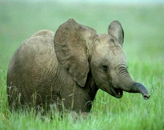 ,Sweet Elephant