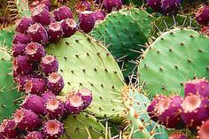 Indian Fig - Barbary Fig, Cactus Pear, Christian Fig, Indian Fig opuntia, prickly pear-The flesh of the fruit will be in bright red/purple or white/yellowish color. The fruit contains many tiny seeds that are usually swallowed. The fruit is often used in the preparation of Jams and Jellies which resembles both strawberries and figs in flavor and color. Opuntia ficus indica is used as a dietary supplement to decrease oxidative stress and lower blood lipid levels.