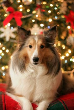 Christmas Sheltie. Shetland Sheepdog art portraits, photographs, information and just plain fun. Also see how artist Kline draws his dog art from only words at drawDOGS.com #drawDOGS http://drawdogs.com/product/dog-art/shetland-sheepdog-dog-portrait-by-stephen-kline/ He also can add your dog's name into the lithograph.