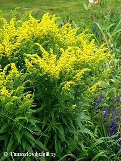 Solidago Canadensis-ryhmä Yellow Plants, Organic Seeds, M Color, Flower Seeds, Petunias, Perennials, Herbs, Ukraine, Garden