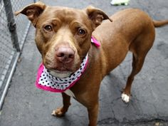 SAFE 5-27-2015 by All Breed Rescue --- TO BE DESTROYED 5/27/2015 Manhattan Center CLEO – A1036260 FEMALE, BROWN / WHITE, PIT BULL MIX, 5 yrs OWNER SUR – EVALUATE, NO HOLD Reason PERS PROB Intake condition EXAM REQ Intake Date 05/14/2015 Volunteers and kennel officers praise her gorgeous leash manners. She is snuggly, she is kissy, she is gentle with treats, she knows how to sit, and she is fantastic with other dogs.