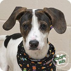 Urgent! I am at a full, high kill shelter in Troy, OH - Hound (Unknown Type) Mix. Meet Hudson, a puppy for adoption. http://www.adoptapet.com/pet/16797845-troy-ohio-hound-unknown-type-mix