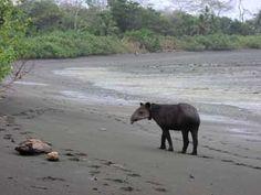 Tapir along Corcovado National Park in Costa Rica