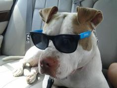Louie the Great is an adoptable Pit Bull Terrier Dog in Conover, NC. Meet Louie the Great!!! We took him from an abandoned home. A tree had fallen on their home and according to neighbors he had been ...
