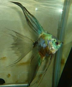 A true veil angel with 'smokey paraiba' colour. Saltwater Aquarium Fish, Tropical Fish Aquarium, Tropical Freshwater Fish, Freshwater Aquarium Fish, Discus Fish, Betta Fish, Cool Fish, Weird Fish, Aquariums