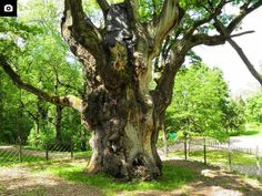 This oak is the oldest tree is in Stelmuze, Lithuania. It is over 2 ooo years old. http://gbtimes.com/