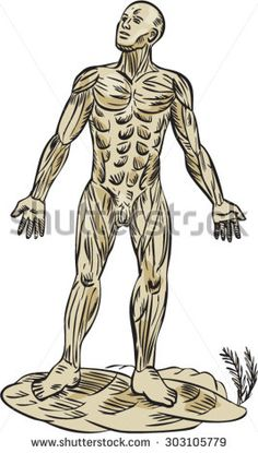 Etching engraving handmade style illustration on the human muscle anatomy showing a male muscular system viewed from front on isolated background. #anatony #etching #illustration