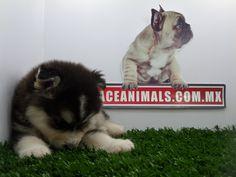 Compra venta de cachorros perros de raza Alaskan Malamute hembras y machos Spaceanimals.com.mx ¡Ahorros hasta del 50%! de Descuento y 12 Meses Sin Intereses paga seguro con Pay Pal , entrega Garantizada. Ventas por Teléfono: (01)(229) 2.60.31.86 / (01229) 3.06.02.03 / ID Nextel 42*15*597183 Móvil 22.99.60.60.77 / 22.92.91.20.91 WhatsApp Si estás en el extranjero llámanos al +52 229 260 3186