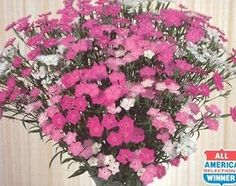 Pase Seeds - Dianthus Melody Series Mix Annual Seeds, $5.99 (http://www.paseseeds.com/dianthus-melody-series-mix-annual-seeds/)