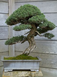 Give a bonsai tree to your bridesmaids for balance and harmony.