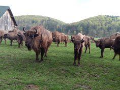 Rezervatia de Zimbri, Vama Buzaului, Pastel Chalet Pastel, Cow, Moose Art, Romantic, Animals, Cake, Animales, Animaux, Cattle