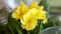 Pioni – katso pionin istutus-, lannoitus- ja hoitovinkit! - Kotiliesi.fi Plants, Flora, Plant, Planting