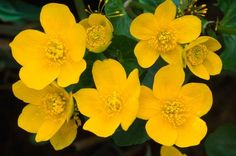 Early bloomer, Marsh Marigold has bright yellow flowers and green ...
