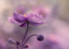 the last anemone by Halina