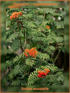 sorbus aucuparia. Rowan or Mountain Ash is perhaps the prettiest of our native trees Woodland, gardens, specimen tree, avenues. With delicate leaves, which create a light canopy, clusters of creamy flowers, scarlet-orange berries and good autumn leaf colour, it looks good through much of the year. Thoroughly hardy (it grows well in the far north of Scotland) and trouble-free to grow, it has excellent wildlife value and is equally attractive in urban gardens as it is in woodland.   Able to…