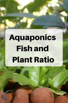 Have you heard of aquaponics? Aquaponics Combines the Growing of Fish and Plants You may grow plants in water and without soil and once one does this together with growing fish you are practicing aquaponics. Hydroponic Farming, Aquaponics Greenhouse, Backyard Aquaponics, Aquaponics Fish, Fish Farming, Aquaponics System, Diy Hydroponics, Aquaponics Supplies, Backyard Ponds