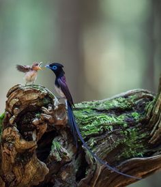 Japanese Paradise Flycatcher father and baby