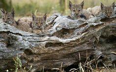 Gorgeous lynx cubs.......